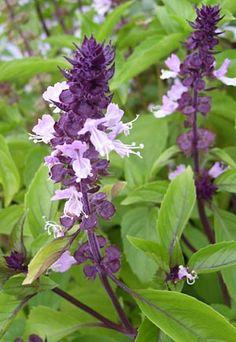 Basil, Cinnamon Ocimum basilicum 'Cinnamon'