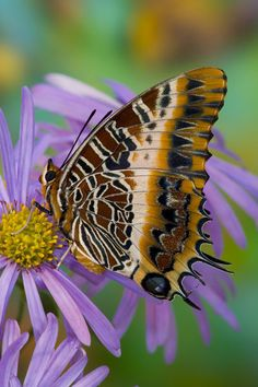 'Sammamish Washington Tropical Butterflies photograph of Charaxes pollux' by Danita Delimont on artflakes.com