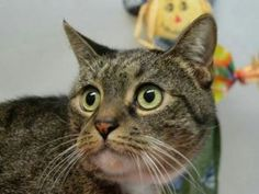 RETURN - Cutiepie Miranda Is Surprised to Find Herself Back @BACC! 7 year old MIRANDA was dumped at the shelter by her owner. She is already spayed and ready for a furever home.
