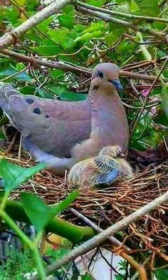 Sweet.  I remember my first time seeing a baby dove and have not seen one since....Our District Convention in Macon, GA  20+ years ago.