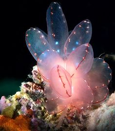 Cyerce elegans (Sea slug) - Maricaban, Calabarzon, Philippines by Luko GR Beautiful Sea Creatures, Deep Sea Creatures, Animals Beautiful, Deep Sea Animals, Underwater Creatures, Underwater Life, Underwater Flowers, Underwater Animals, Sea Slug