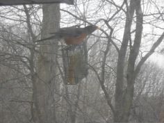 Ann unusual sight: American robin at a suet feeder!