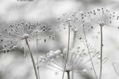 Cow Parsley, Bloom Blossom, All The Colors, Photo Art, Dandelion, Beautiful Places, Royalty, Album, Crystals