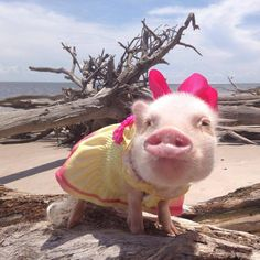 Priscilla the Mini Pig Is So Stylish You'll Want to Steal Her Outfits