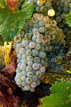 Grapes at Harvest,  Willcox, Arizona - Ron Chilston