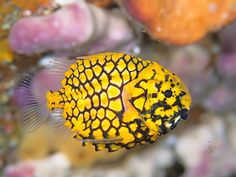 From : National Geographic Images     - Pinecone Fish -
