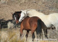 Wild Horses of Carson City   / photo by Kathy Klossner