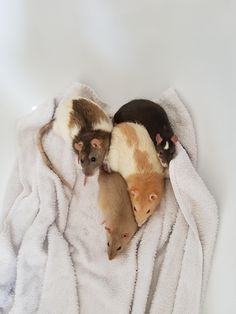 """[RIP] Basil passed a few weeks ago; here are a few of his """"best bits"""" (happy photos of his happy life). #aww #cute #rat #cuterats #ratsofpinterest #cuddle #fluffy #animals #pets #bestfriend #ittssofluffy #boopthesnoot"""