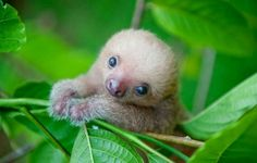 The tiniest baby sloth!