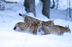 Lynx (Lynx lynx) young animals chasing themselves in snow-covered forest, Bayerischer Wald National Park, Bavaria, Germany, Europe