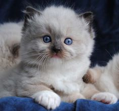 Blue-Gem Ragdoll photo Gallery - Photos of Ragdoll Cats and kittens