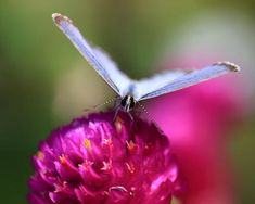 Superb Nature - Face to Face by Cheng_Cheuk_Wah. All The Small Things, Lavender, Butterfly, Face, Nature, Animals, Butterflies, Pictures, Insects