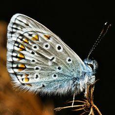 Borboleta Agriades Pyrenaicus  Animals    Moth