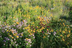 Wildflower Meadows: Let's Get Real  |  Larry Weaner Landscape Associates