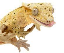 Crested Gecko Feeder Sampler Pack