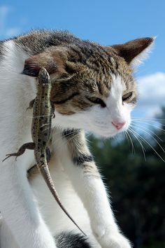 lizard and cat~ looks like my Bailey