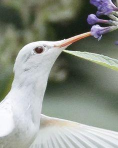 Albino Ruby-Throated Hummingbird, Staunton, Virginia // Nature Friend Magazine