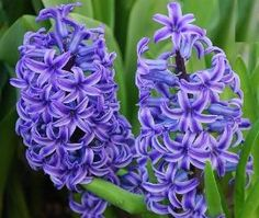 Hyacinth by Lisa Dodson