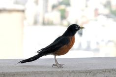 Needle Felted bird. American Robin. Life Size. by darialvovsky