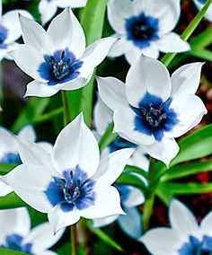 Humilis Alba Coerulea Oculata (botanical tulip) The colour combination of the bright white pointed petals and the striking, steely blue heart is very unusual and special among other tulips