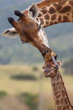Giraffe Love                               #animals #lolanimals #cuteanimals