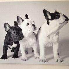 French Bulldogs, via Batpig & Me Tumble It