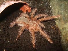 Theraphosa blondi spiderling