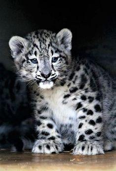 Baby Snow Leopard #BigCatFamily