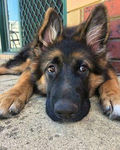 "12.4k Likes, 95 Comments - German Shepherd World® (@thegermanshepherdworld) on Instagram: ""📣NOTE❗Best German Shepherd 👕 & Hoodies EVER in @thegermanshepherdworld profile❗ 💯Satisfaction…"""