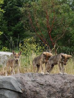 Three of the red wolf pups at the Point Defiance Zoo in Tacoma, Washington. There were a total of five there, and they have 4 adult red wolves. They have been one of the leaders in red wolf conserv...