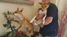 Kijk eens hoe Basenji's en vossen op elkaar lijken (deze vos is een opgezette vos, ergens in een hotel in Frankrijk)