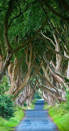 """Dark Hedges"" ~ a row of Beech Trees planted in the 18th century that curve in cool ways, Bregagh Road, Northern Ireland."
