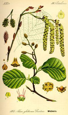 Zwarte els - Alnus glutinosa