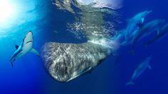 Haie, Wale und Delfine in einem? Auf den Azoren ist fast alles möglich. Beinah ''vor unserer Haustür'' nur wenige Flugstunden entfernt können Sie einen Urlaub mit den drei bekanntesten Meeresbewohner: Delfine, Haie, Wale genießen #wasser #warm #azoren #wale #haie #delfine #tauchen #wirodive #tauchreisen #schnorcheln #liebedeinleben