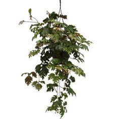 Rhoicissus | Rhoicissus - Plantes et Jardins