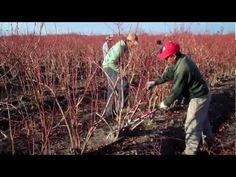 How to Prune and Care for Blueberry Bushes with DiMeo Fruit Farms Mature Blueberry Plants