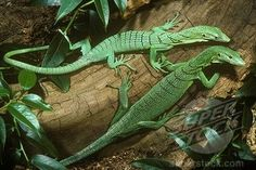 Green Tree Monitor Lizards