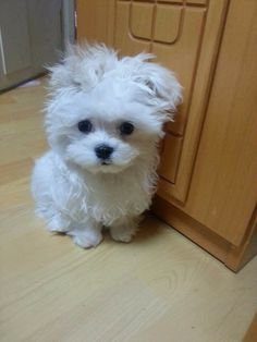 All the cuteness has been stuffed into this tiny little Maltese dog!!