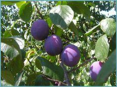 Правильная обрезка сливы – залог богатых урожаев