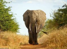 Credit : @brenden_simonson -  Large female walking down ebony lane. For info about promoting your elephant art or crafts send me a direct message @elephant.gifts or emailelephantgifts@outlook.com  . Follow @elephant.gifts for inspiring elephant images and videos every day! . .  #elephant #elephants #elephantlove