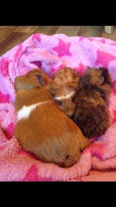 Guinea pigs' snuggle time.