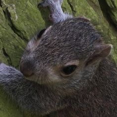 This little monster destroys our trees and digs up 100's of our tulips - but looks very cute when small! #dividedfeelings #squirrel #wildlife #nature #woodland #walks #trees #gardenvisitor #garden #notts #picnic #shy #historichouse #castle #cubs