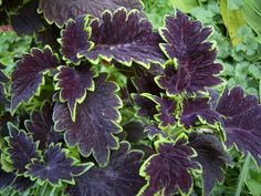 Coleus 'Apocalypse'. Scalloped dark purple leaves outlined in striking lime green.