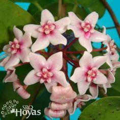 Hoya naumannii
