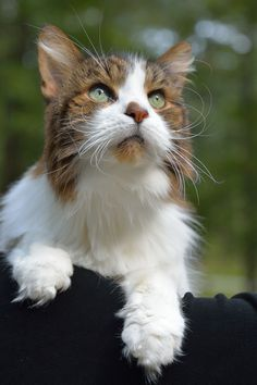 Earl (Maine Coon cat)