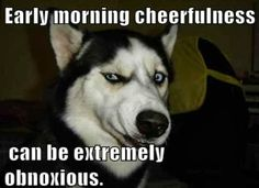 Funny animal pictures of husky dog with an attitude. -