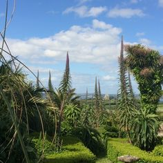 Swayin spires of echiums frame a view to St Michael's Mount at Ednovean Farm now