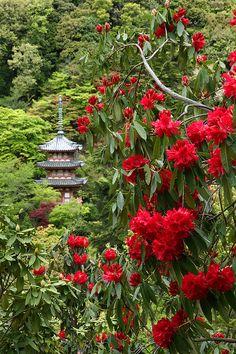 92san-photo album 京都の四季 - 小雨降る長岡天神八条ケ池の霧島つつじ、雨に洗われあでやかです。 三室戸寺のシャクナゲ