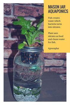 How Mason Jar Aquaponics works. Fish waste used as fertlizer by plant. Plant cleans water for fish. Mini ecosystem. #greenplur Herb garden, salad garden, organic garden, betta fish aquarium