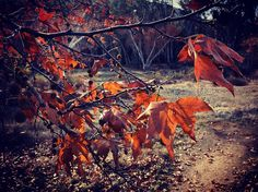 Sycamore Leaves   The colors the shape of the leaves and the seeds make these trees even more beautiful in Winter than Spring.  #sycamore #tree #trees #nature #autumn #fall #winter #nature #outdoors #santamonicamountains #smmnra  #LA #losangeles #ig_losangeles #wheream_I_LA #insta_losangeles #cali_grammers #lagrammers #losangelesgrammers #discoverla #conquer_la #unlimitedlosangeles #californiacaptures #ig_naturelovers #ig_naturepictures #ig_naturesbest @24earth